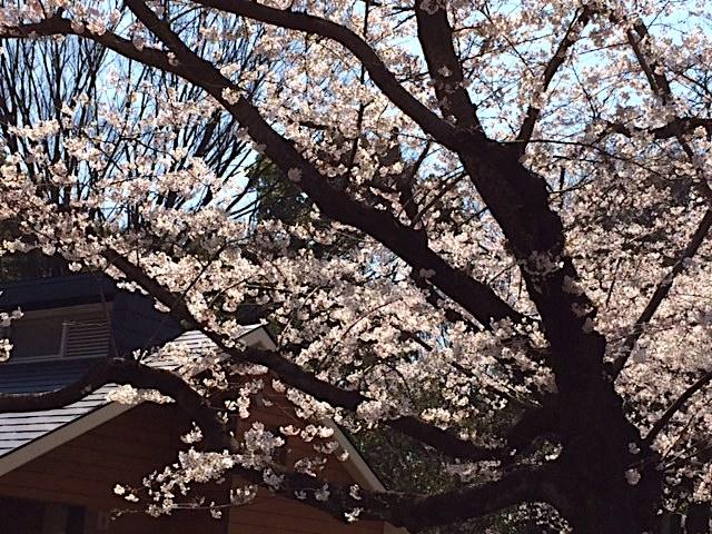 ⭐︎桜⭐︎パート3(満開⭐︎)