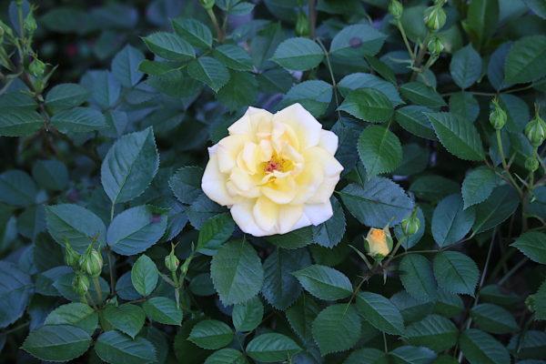 今春、初薔薇☆